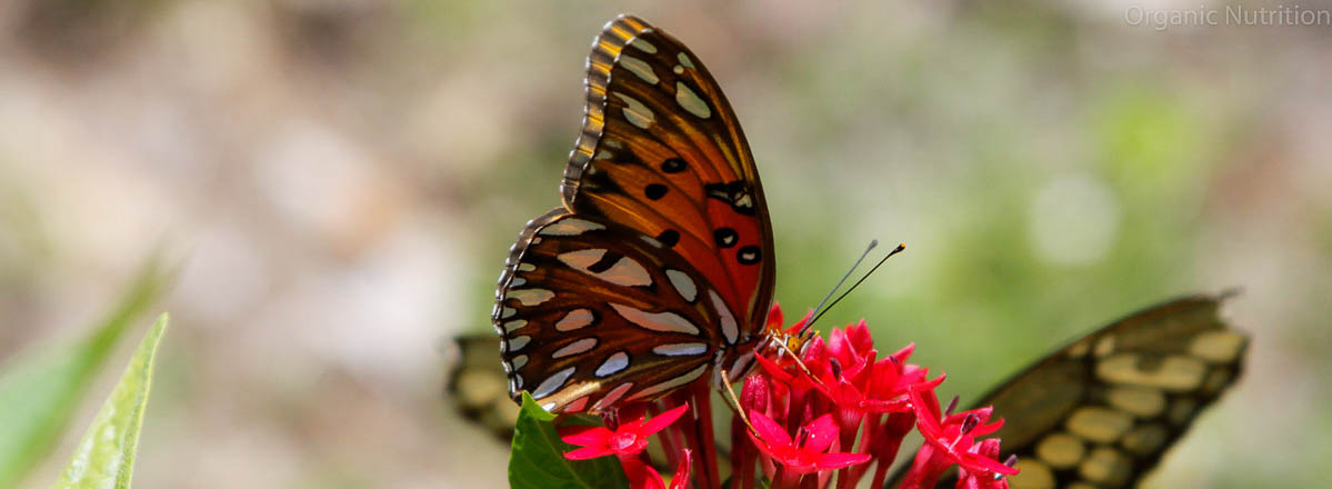 Even butterflies use plants and nectar to convert into protein