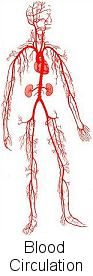 veins and arteries in the body
