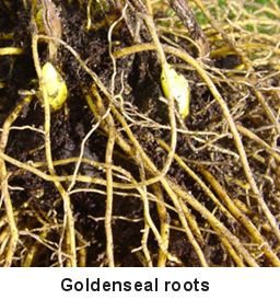 Roots of the goldenseal plant