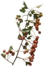 Hawthorn plant